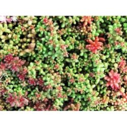Sedum%20Album%20Coral%20Carpet%20web-370x370[1]